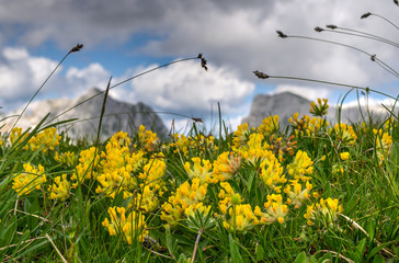 Flowers in mountain pasture in Julian Alps