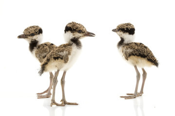 Red-wattled Lapwing kids
