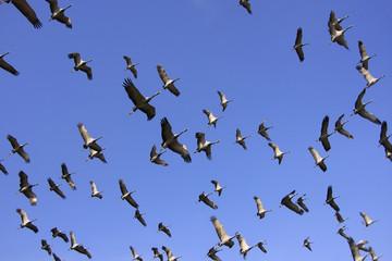 Flock of demoiselle crains flying in blue sky, Khichan village,