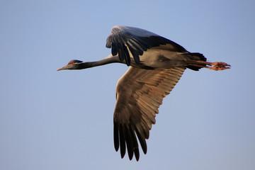 Demoiselle crain (Anthropoides virgo) flying in blue sky, Khicha