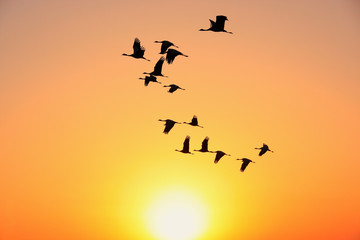 Silhouetted flock of demoiselle crains at sunset, Khichan villag