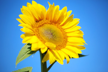 Beautiful sunflower  on blue background