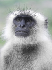 Common Langur Portrait