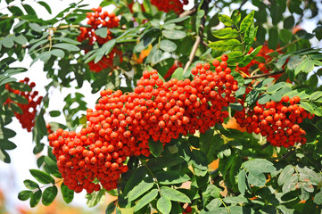 Rowan berries, Mountain ash (Sorbus) tree with ripe berry