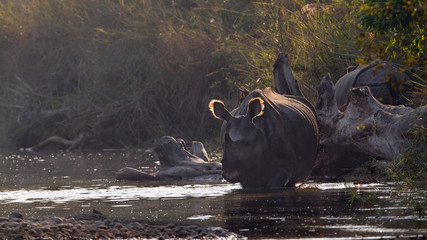 Greater One-horned Rhinoceros in Bardia, Nepal