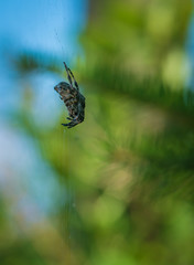 Cross spider sits on his cobweb. (Araneus diadematus).