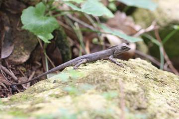 chameleon on stone.