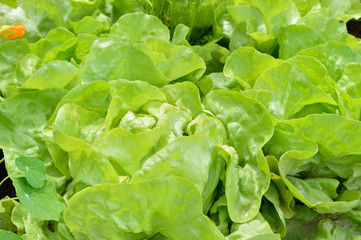 Close-up of lettuce in a garden field.
