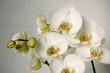 Obrazy na płótnie, fototapety, zdjęcia, fotoobrazy drukowane : white orchids