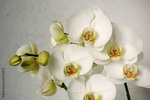 Foto op Canvas Orchidee white orchids