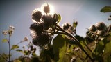 Bur plants closeup silhouette with the sunlight poster