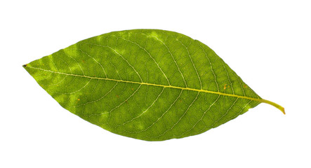 Real willow leaf isolated