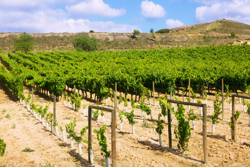 Vineyards plantation. La Rioja
