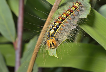 Caterpillar of gypsy moth 5