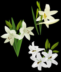 set of white lily flowers isolated on black