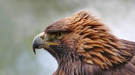 Close-up view of a Golden eagle (Aquila chrysaetos)