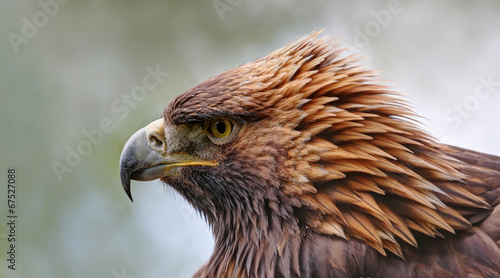 Foto op Canvas Eagle Close-up view of a Golden eagle (Aquila chrysaetos)