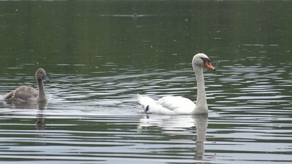 close-up of swan and young signet birds swimming across water