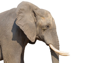 Elephant on white