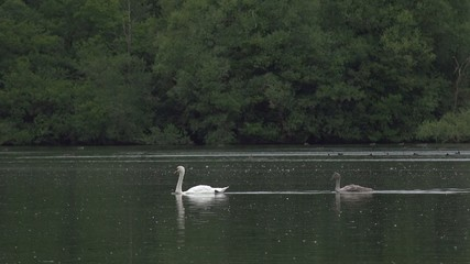 long shot of swan and young signet birds swimming across water