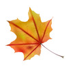 Autumn maple leaf on white, detailed and textured.