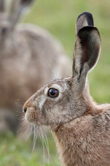 Hare in the wild, a profile