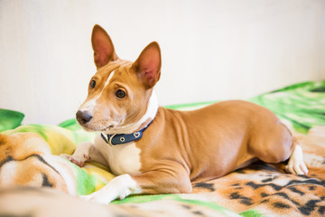 basenji puppy lying on a bed