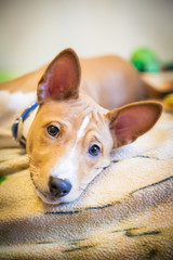 close-up basenji puppy