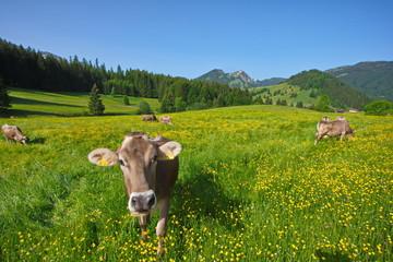Allgäu, Kühe weiden auf blumenbestandener Bergwiese