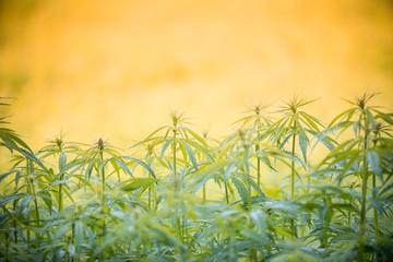 Young cannabis plants, marijuana