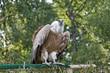 Gyps himalayensis, vautour de l'Himalaya, Himalayan vulture