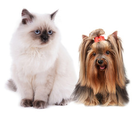 Yorkshire terrier and cat isolated on white