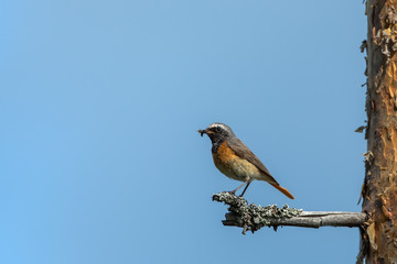 Male Common Redstart
