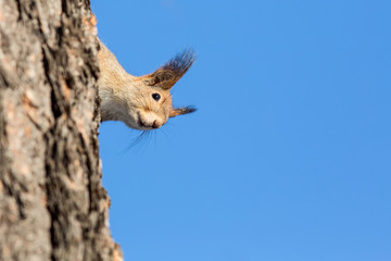 A squirrel peeks around the side of a tree