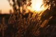 canvas print picture - Pennisetum flower in sunset