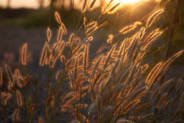 Pennisetum flower in warm sunset