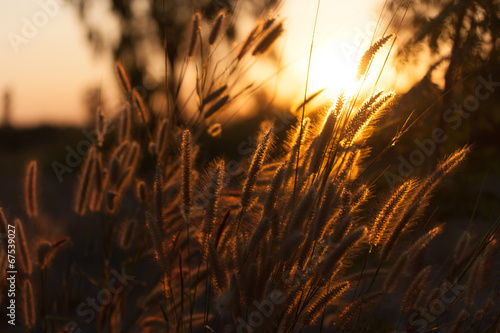 canvas print picture Pennisetum flower in sunset