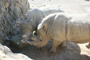 Nashorn Paar
