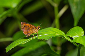 Common Chestnut Bob butterfly