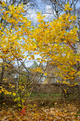tuliptree with yellow leaves in autumn park