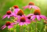 Fototapety echinacea flowers
