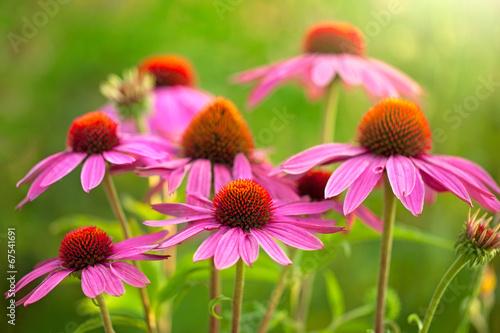 Poster Bloemenwinkel echinacea flowers