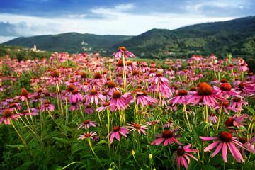 echinacea flower field