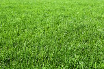 Grün sind die Wiesen