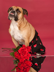 English Bulldog in his Valentine's Day gear
