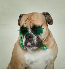 English Bulldog in his Irish Glasses