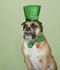 Bulldog in his green St. Patty's Day gear