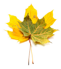 Two autumn maple-leaf