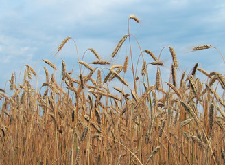 Ripening ears of wheat on the background  sky