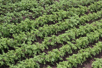 Green potato beds diagonal